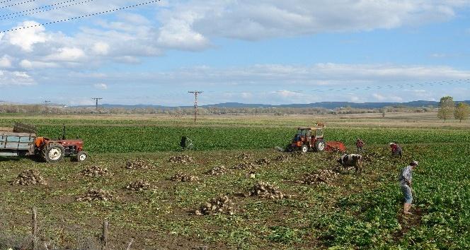 Daday'da pancar üretimi arttı