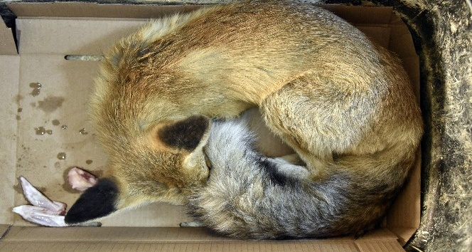 Araç çarpması sonucu yaralanan yavru tilki tedavi altına alındı