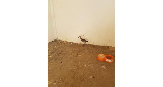 Yaralı Çulluk kuşu tedavi altına alındı