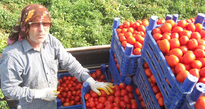 Salçalık domates 45 kuruş