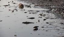 Sular çekilince binlerce balık telef oldu