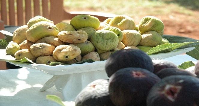 Kurutmalık sarılop incir hasadı yapıldı