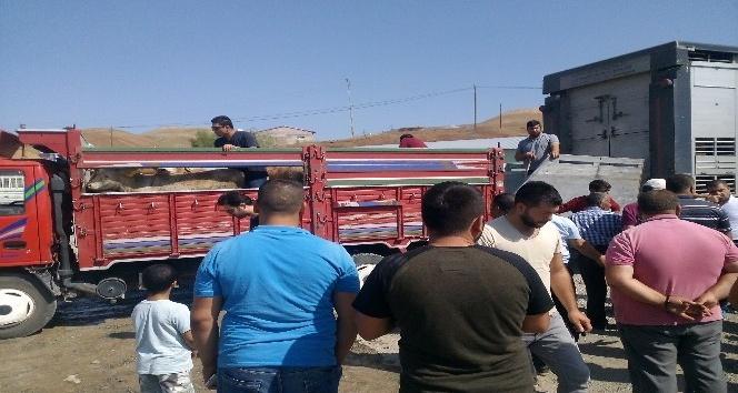 Tuzluca'da Genç Çiftçi Projesi kapsamında 16 çiftçiye 96 adet Büyükbaş hayvan dağıtıldı