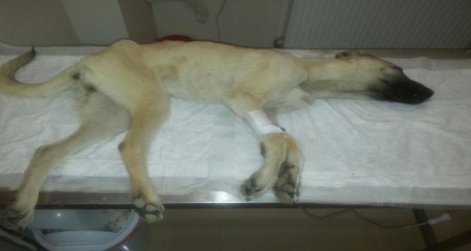 Hasta sokak köpeği için hayvanseverler seferber oldu