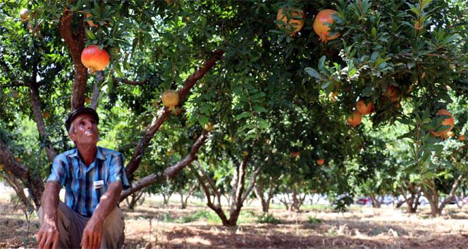 Türkiyenin nar deposu hasada hazırlanıyor