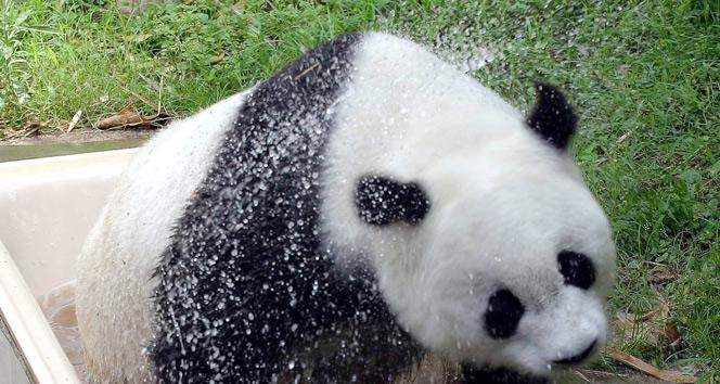 Dünyanın en yaşlı pandası Basi öldü