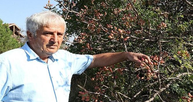 Menengiç ağaçlarında aşılamayla Antep fıstığı üretiliyor