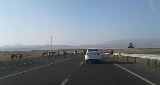 Kars'ta, başıboş atlar tehlike yaratıyor