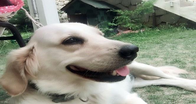 (Özel haber) Evin bahçesinden köpek hırsızlığı