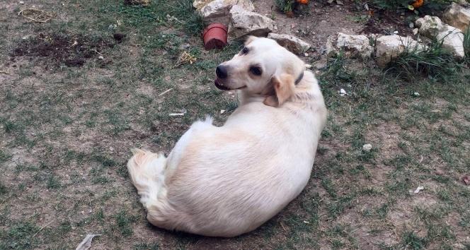 Evin bahçesinden köpek hırsızlığı