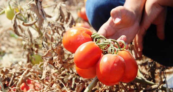 Rusyanın domates açıklaması üreticiyi umutlandırdı