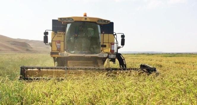 Sungurlu'da çeltik hasatı