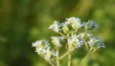 Kocasinanda tıbbi ve aromatik bitkiler ürün vermeye başladı