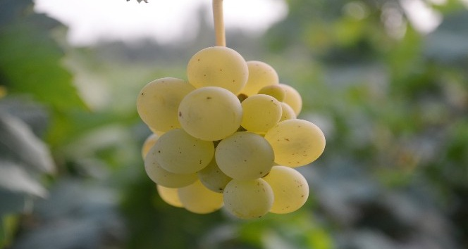 Iğdır'da şeftali ve üzüm hasadı