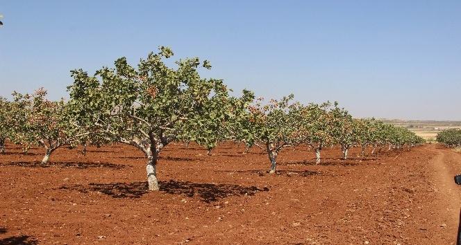 Kilis'te dünyada benzeri olmayan fıstık üretildi