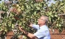 Kiliste dünyada benzeri olmayan fıstık üretildi