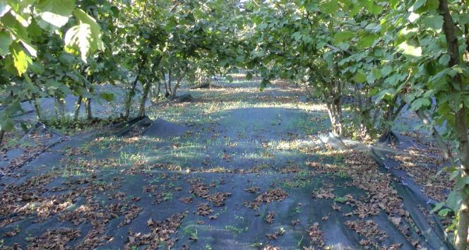Fındık hasadında maliyeti yüzde 80 düşüren yöntem