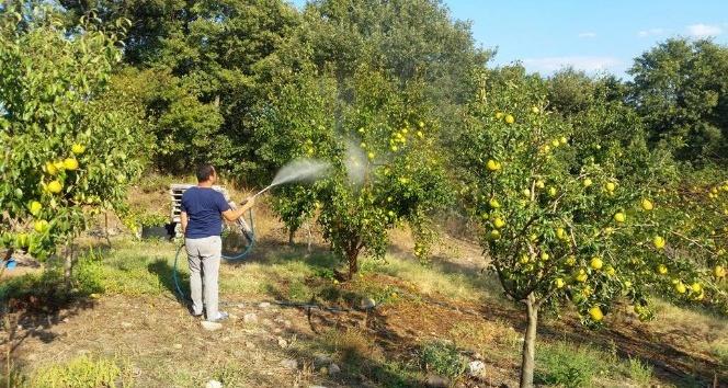 (Özel Haber) Zararlı böceklere karşı armut ağaçlarını tütün suyu ile koruyor