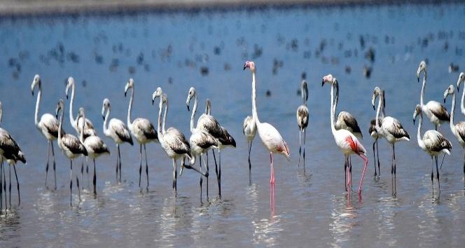(Özel Haber) Flamingolar Arin Gölünde ilk defa yoğun şekilde görüntülendi
