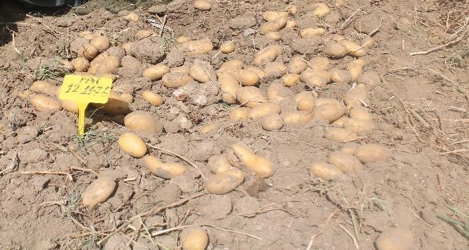 Yerli patateslerin hasadı yapıldı