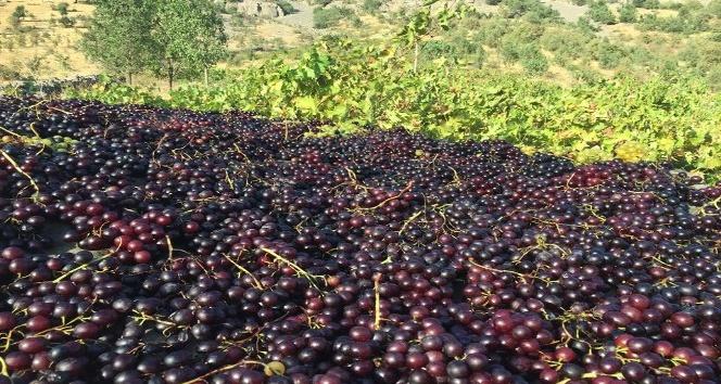 İlkel yöntemlerle toplanan üzümler kurutularak kışın tüketiliyor