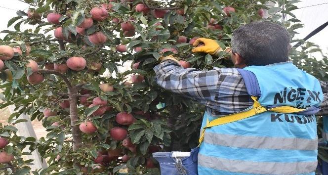 Açık Cezaevinde Elma hasadı başladı