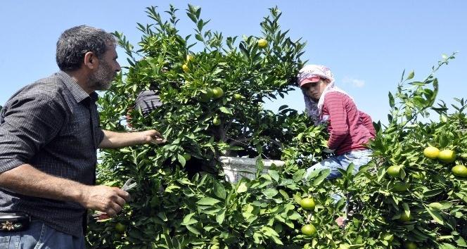 Hatay'da mandalina hasadına başlandı