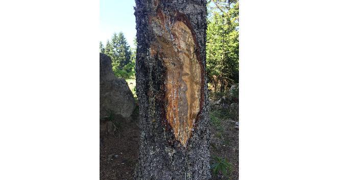 Çıra için 50 yıllık ağaçlara zarar veriyorlar