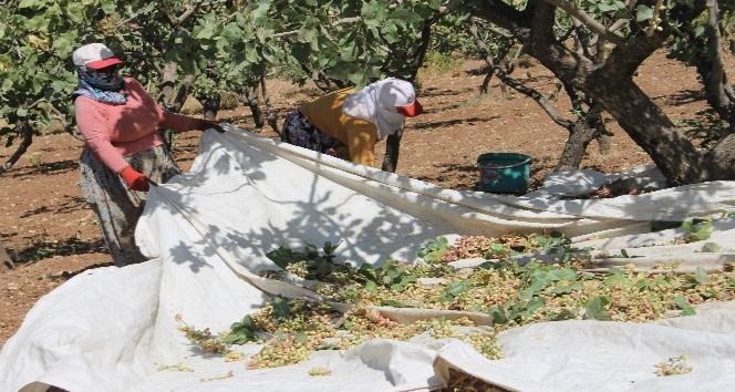 Siirt'te fıstık toplama çalışmaları sürüyor