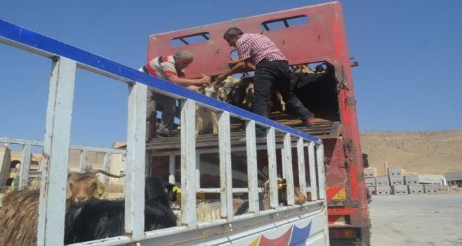 Hasankeyf'te bayan çiftçilere hayvan desteği