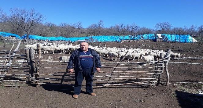 Anaç koyun-keçi destekleme başvuruları devam ediyor