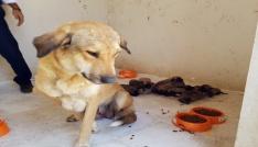 Anne köpek ve 10 yavrusu koruma altına alındı