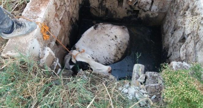 Foseptik çukurunda inek kurtarma operasyonu