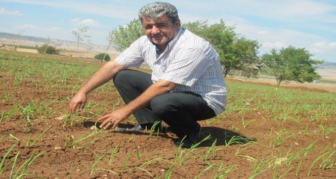 Sarımsakta yaklaşan hasat zamanı çiftçinin umutlarını da yeşertiyor