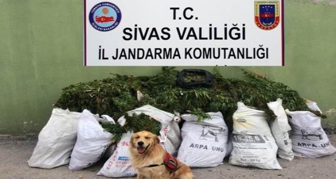 Sivas'ta 46 kilo esrar ele geçirildi