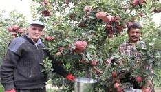 Karamanda hasadı başlayan elma yüz güldürüyor