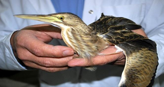 Yaralı Balaban kuşu tedavi altına alındı