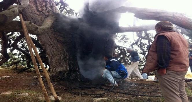 Dilek dilemek için yaktığı mum 700 yıllık çam ağacını yaktı