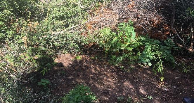 Ormanlık alanda kenevir ele geçirildi
