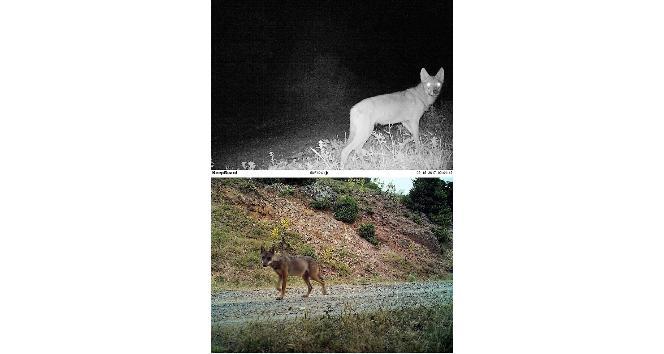 (Özel haber) Köpekleri yiyen esrarengiz hayvan foto kapana yakalandı
