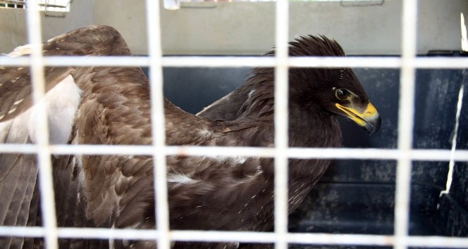 Yaralı baykuş ve kartal tedavi altına alındı