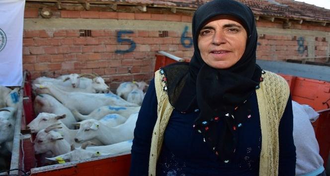 Büyükşehir Vezirköprü'de 10 çiftçiye 220 keçi dağıttı
