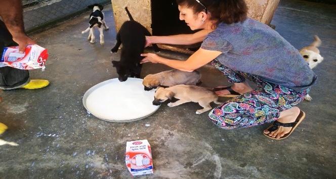 Hayvanseverden sokak hayvanlarına süt