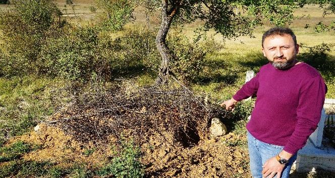 Ceset yiyen ayı, Kastamonu'da yeniden ortaya çıktı