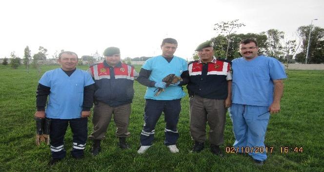 Yaralı kızıl şahin kuşunu Jandarma ekipleri kurtardı