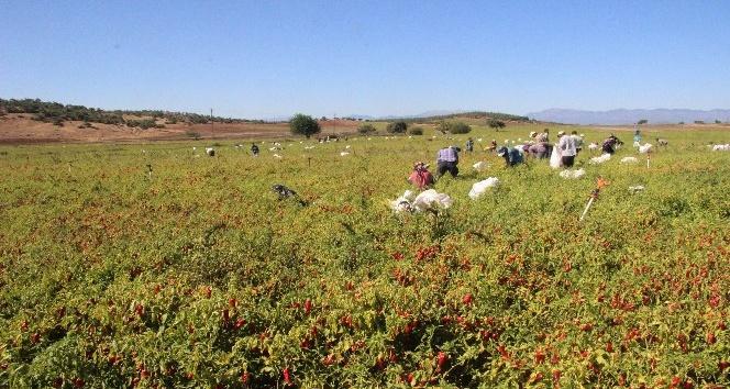 Türkiye'nin ikinci büyük biber üretimi Hasancalı'da gerçekleştiriliyor