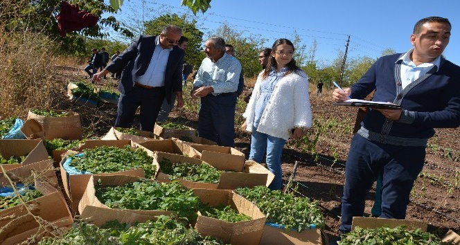 Suşehri'nde tıbbi ve aromali bitki üretimi.