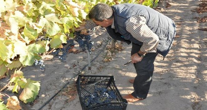 Manisa'nın organik üzümleri pazardaki yerlerini aldı