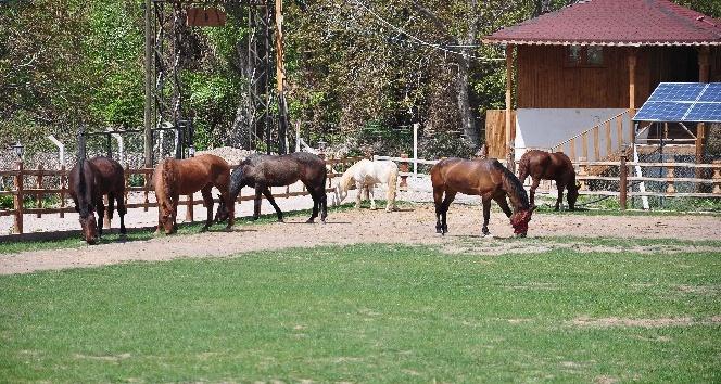 Atlara rahatlamaları için müzik dinletiyor