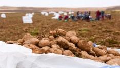 Ahlatta patates hasadı